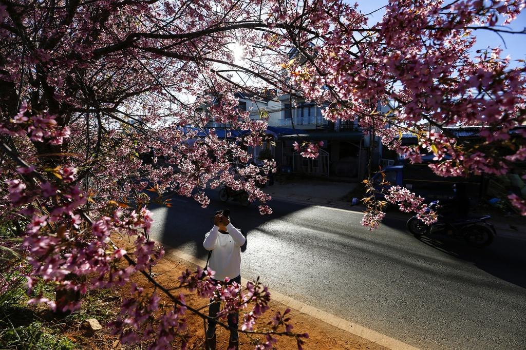 Hoa mai anh đào ở Đà Lạt đang nở rộ - hinh 1