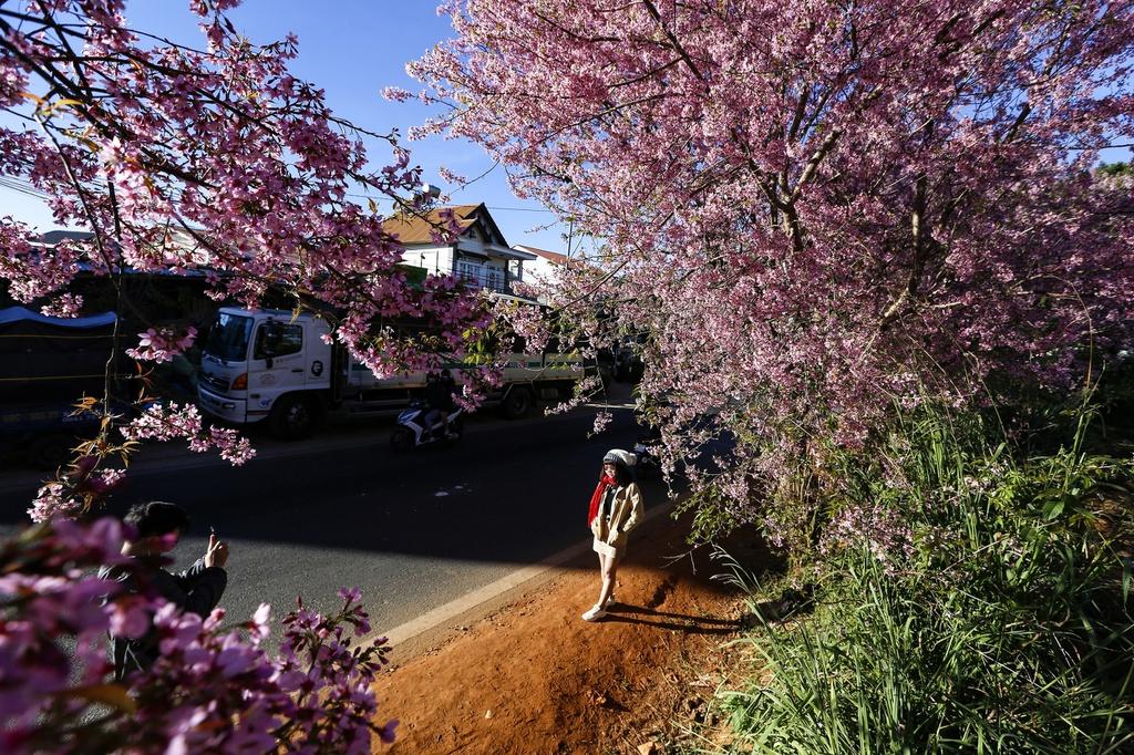 Hoa mai anh đào ở Đà Lạt đang nở rộ - hinh 15